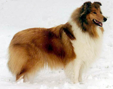 Collie pedigree for maydale 39 s charming personality for Charming personality